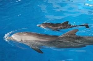 Babydelfin Nuik mit seiner Mutter