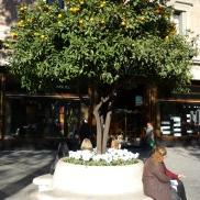 Mandarinenbaum am Passeig de Gràcia